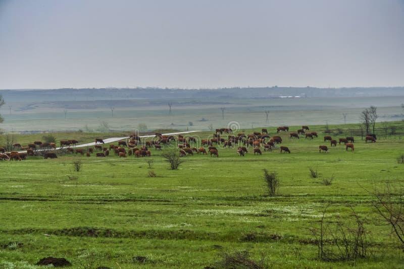 Betande flock av kor i en äng royaltyfri fotografi