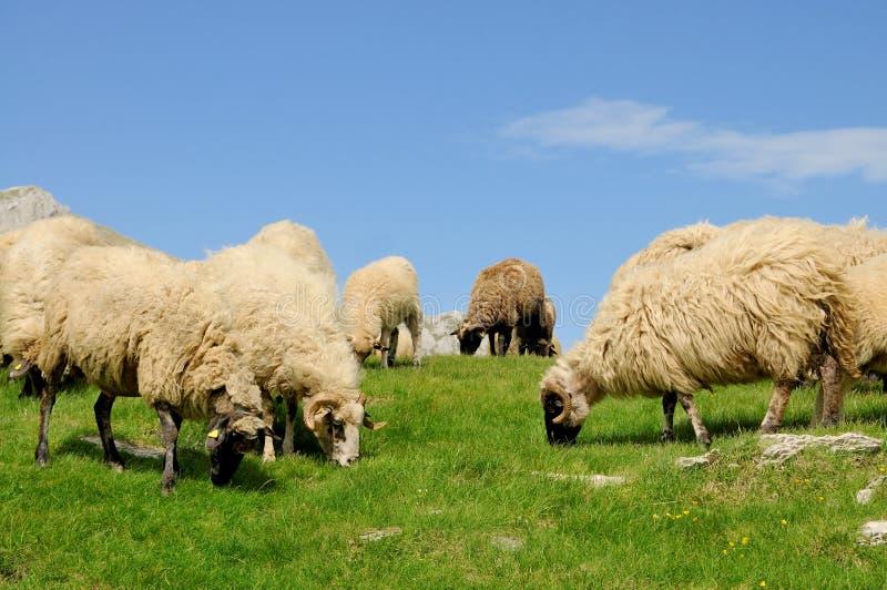 Betande gräs för får på berget arkivbilder