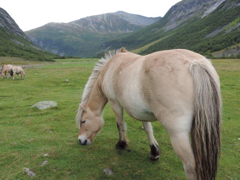Betande häst fotografering för bildbyråer