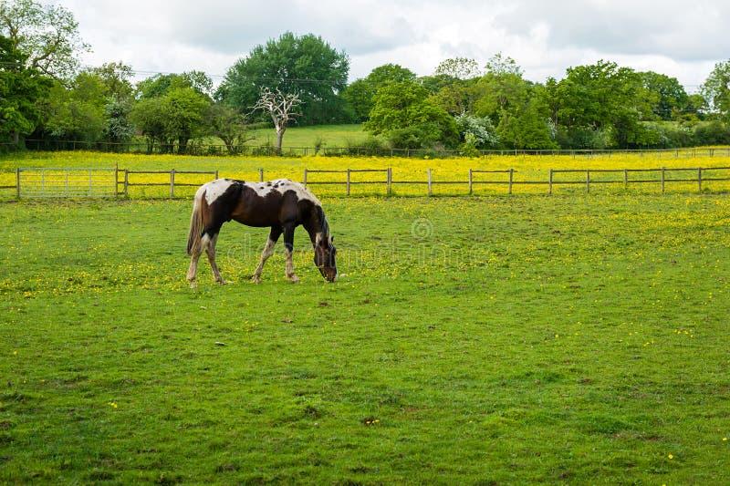 Betande häst på lantgården royaltyfria bilder