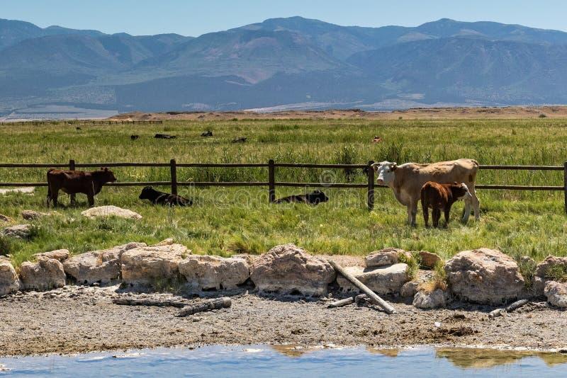 Betande nötkreatur i Utah bredvid det bevattna hålet royaltyfria foton