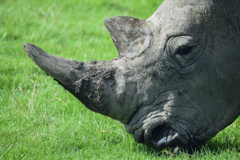 betande noshörning royaltyfria bilder