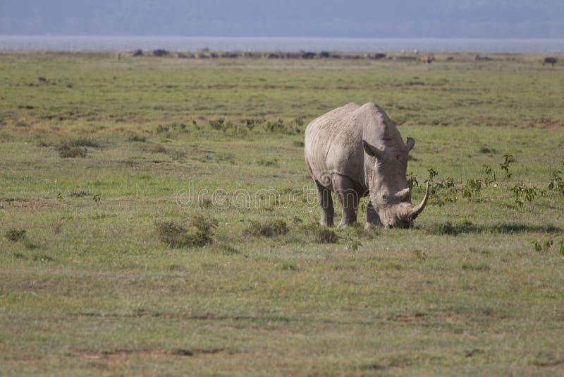 betande noshörning arkivfoton