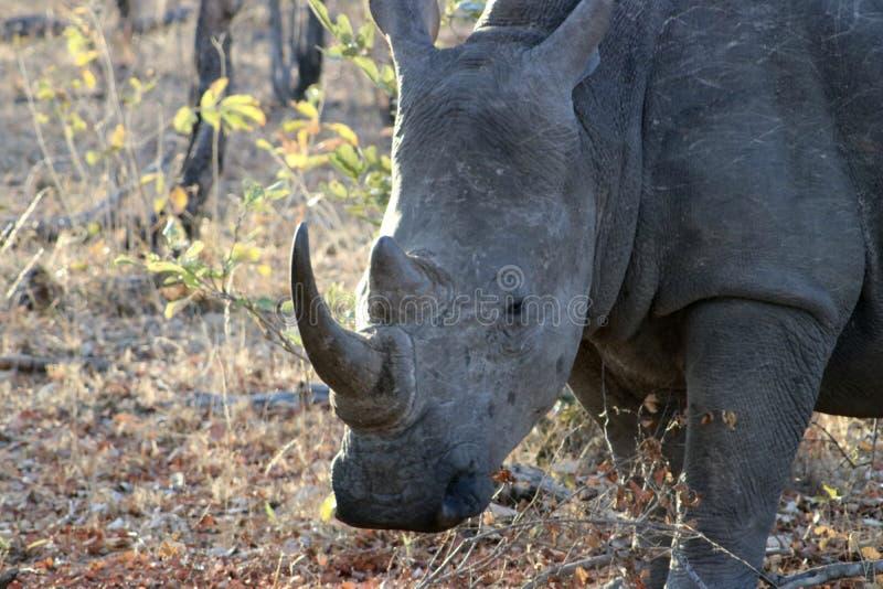 betande noshörning fotografering för bildbyråer