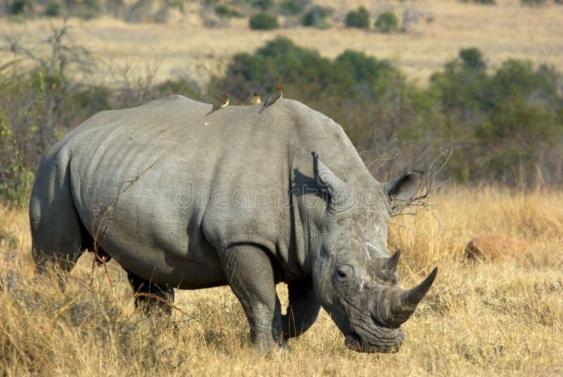 betande noshörningwhite fotografering för bildbyråer