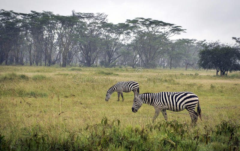 Betande sebror i sjön Nakuru National Park royaltyfria foton