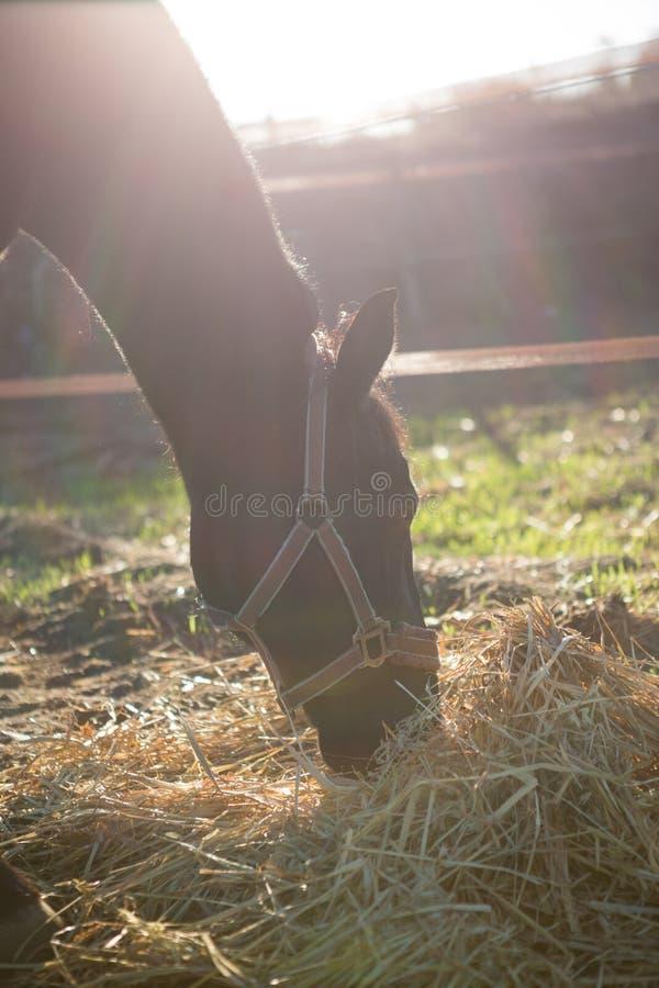 Betande torrt sugrör för häst i ranch royaltyfri foto