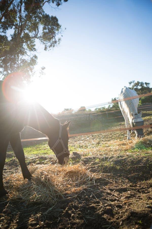 Betande torrt sugrör för häst i ranch fotografering för bildbyråer