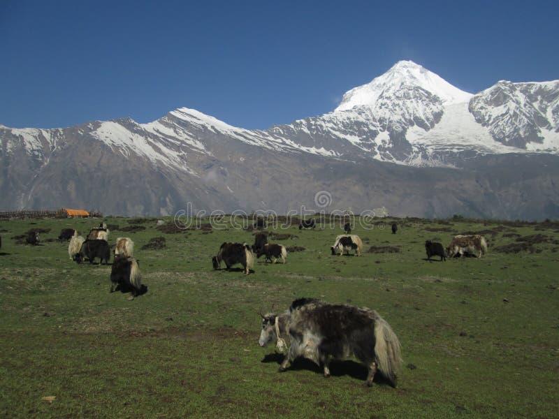 Betande yakflock och Dhaulagiri royaltyfri fotografi