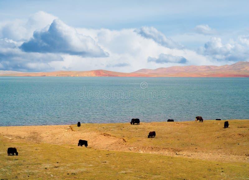 Betande yaks royaltyfria bilder