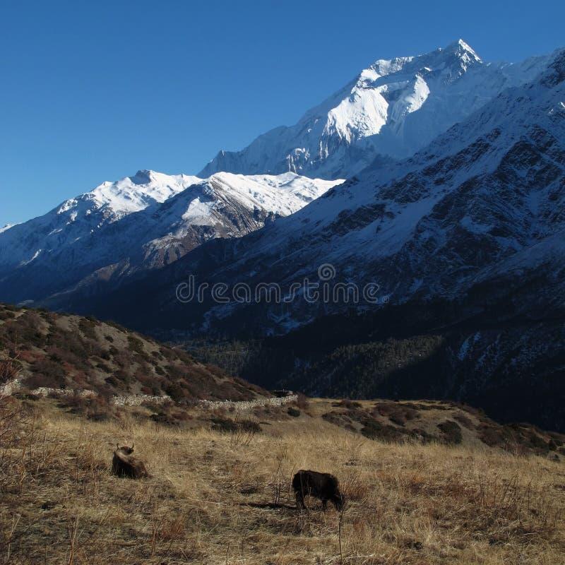 Betande yaks framme av Annapurna två royaltyfri foto