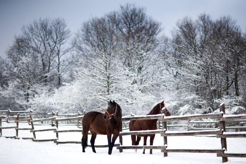 Betar bruna hästar för kastanj i en kall vinter arkivfoto