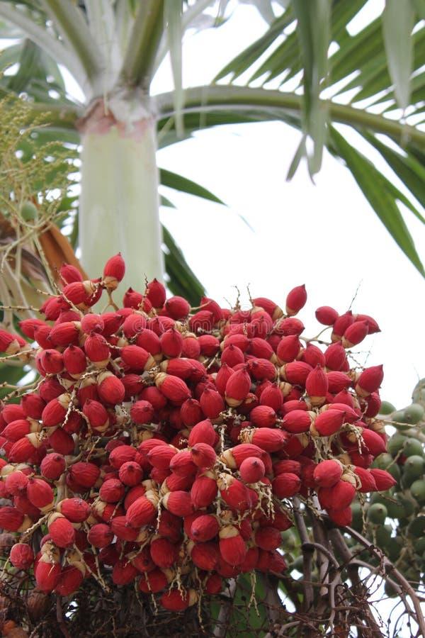 betel - dokrętki czerwień fotografia royalty free