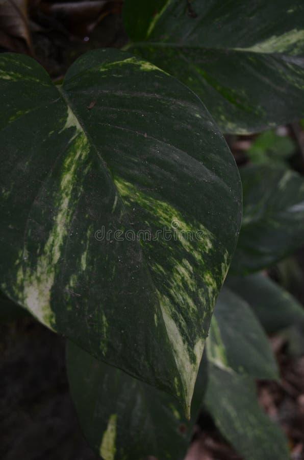 Betel kość słoniowa jest nie tylko roślinami które łatwo taktują i zasadzają zdjęcia royalty free