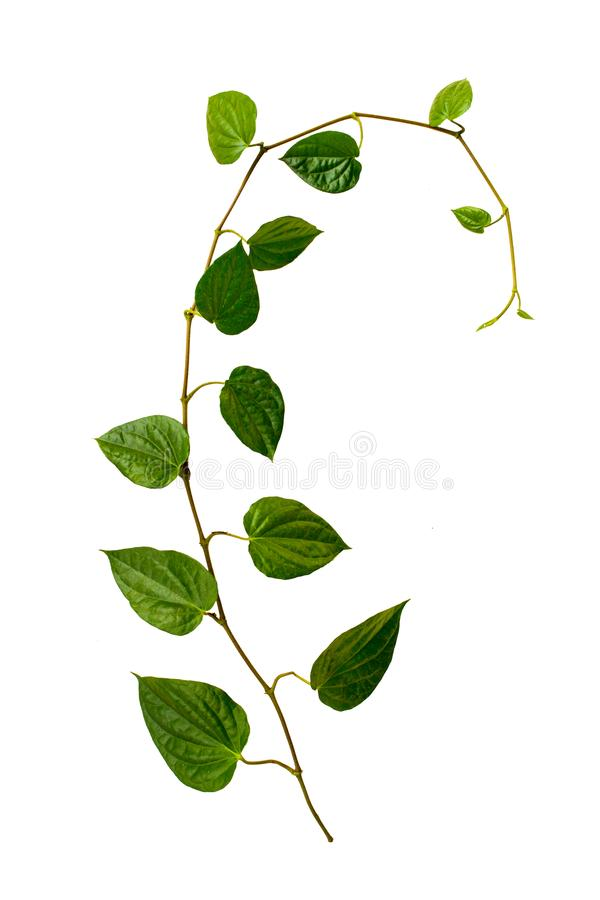 Betel leaves as herbs in the village has isolated on white background stock photography