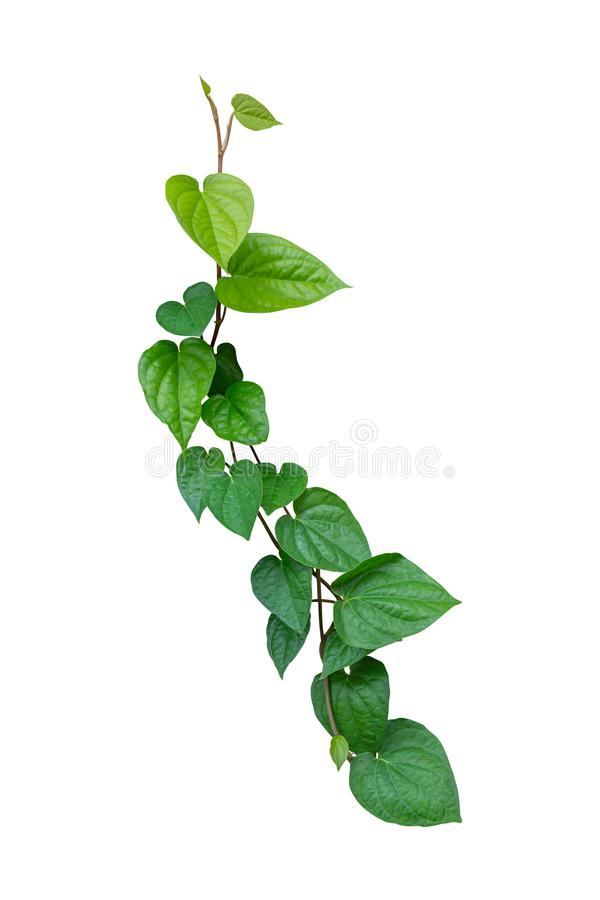 Betel leaves, Greenery plants isolated on white background have clipping path stock photography