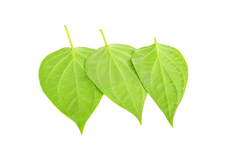 Betel leaves isolated on the white background. stock photography