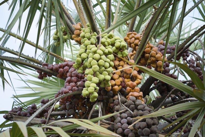 Betel nut palm. royalty free stock photo