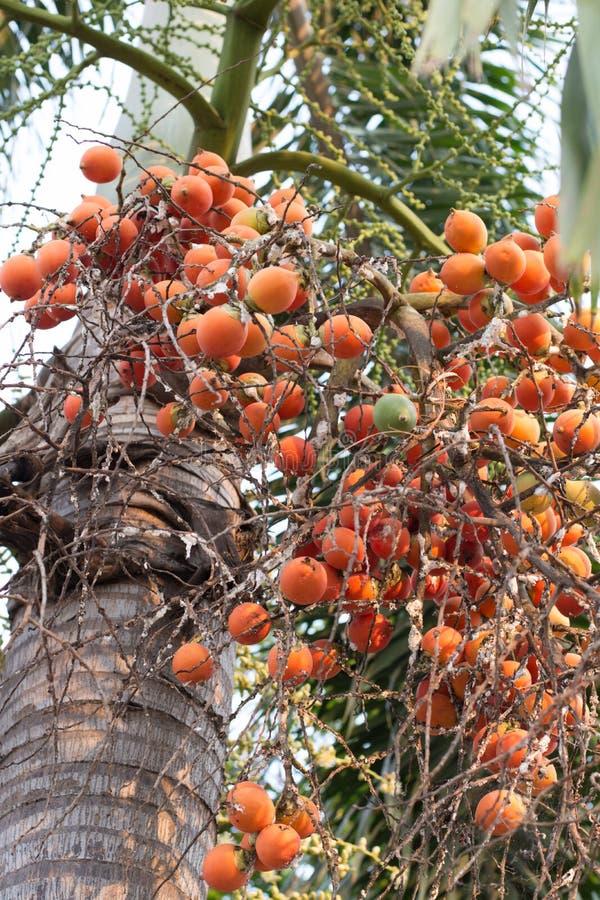 Betel nut palm or Betel Nuts on tree,Areca catechu.  stock image