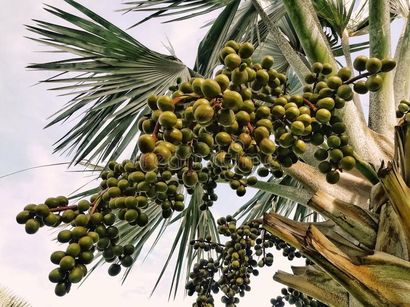 Betel palm or betel nut. Close up picture of Betel palm or betel nut stock images