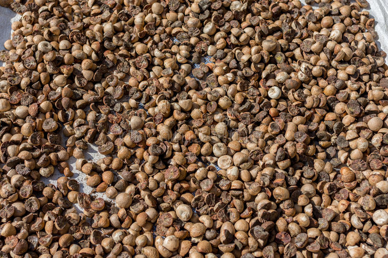 Betel palm nut drying. Out in the street in the midday sun royalty free stock photography