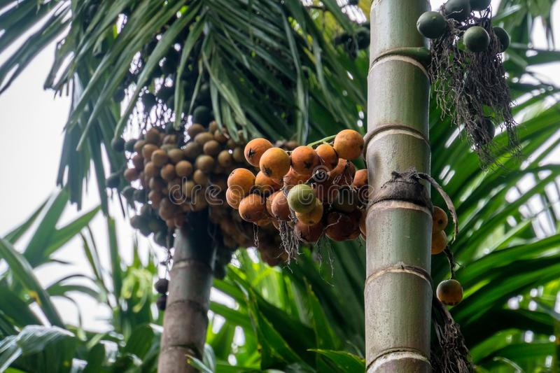 Betel palm or betel nut. Fruit on the tree. Narcotic nut royalty free stock images