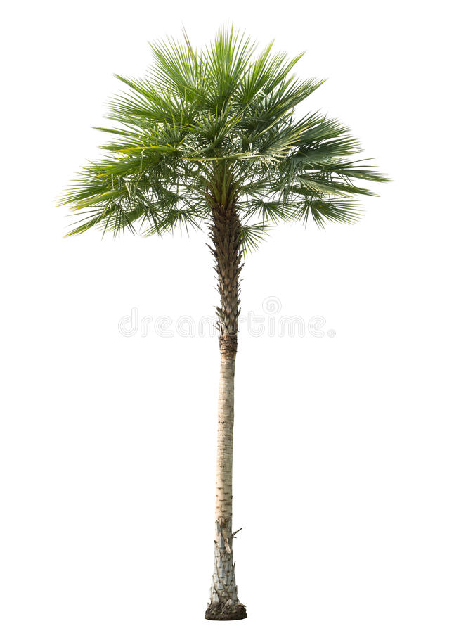 Free Betel Palm Tree Cut Out Isolated Royalty Free Stock Image - 52584076