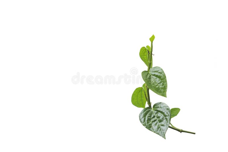 Betel Piper. Isolated on a white background stock photography