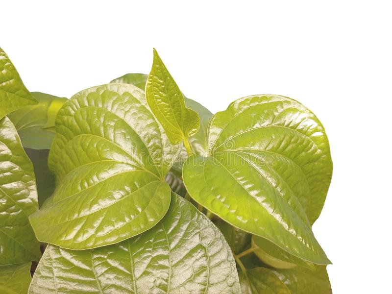 Betel, Piper betle green leaves on white background royalty free stock photography