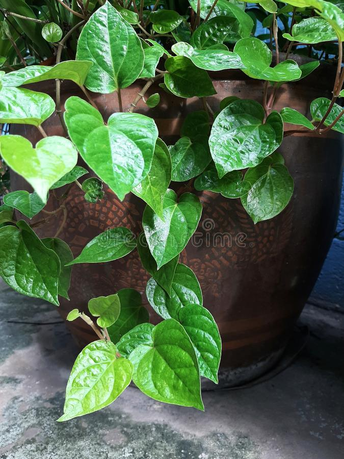 Betel, Piper betle plant growing in pot royalty free stock photos