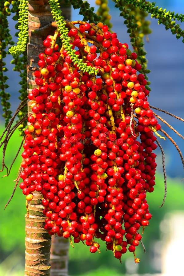 Betelbaum mit roten Nüssen lizenzfreie stockfotos