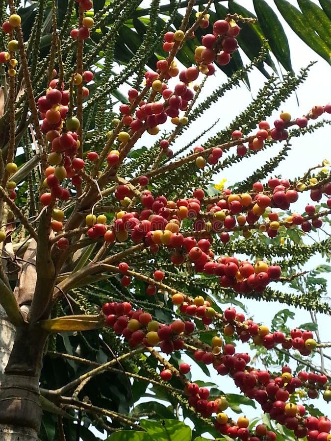 Betelparmträd arkivfoton