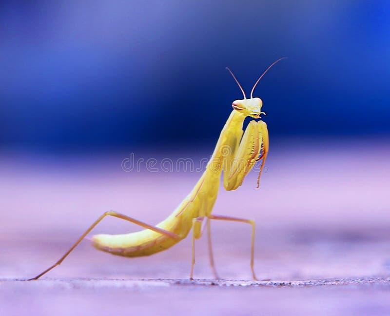 Betender Mantis stockfotos