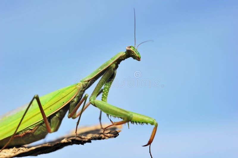 Betender Mantis lizenzfreie stockfotografie