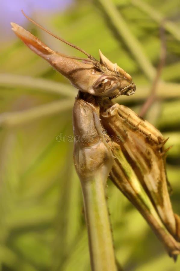 Betender Mantis-Beten stockbild