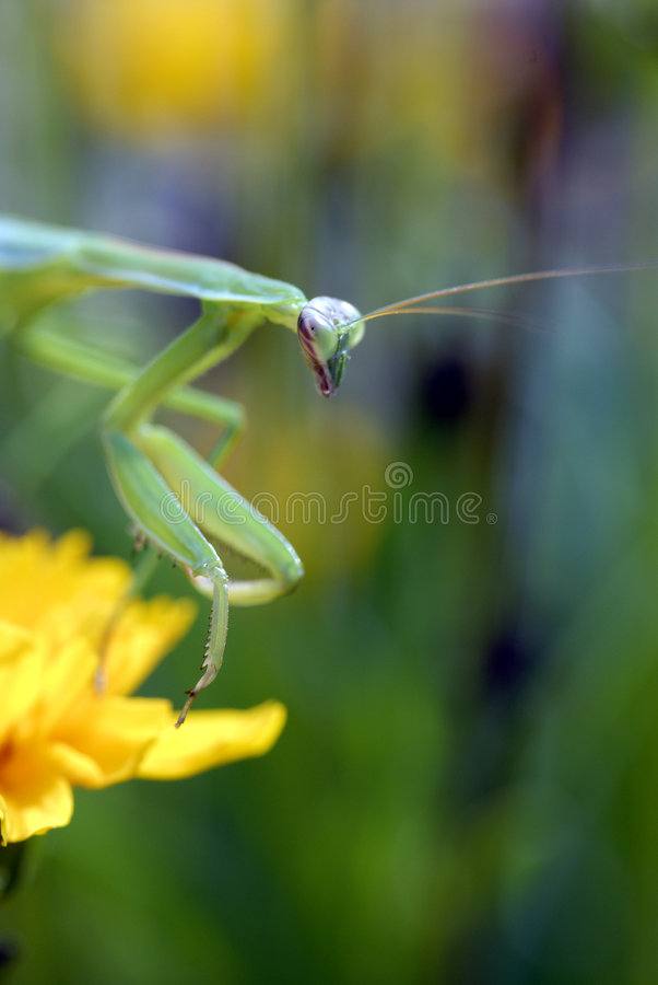 Betender Mantis-Insekt stockfotos