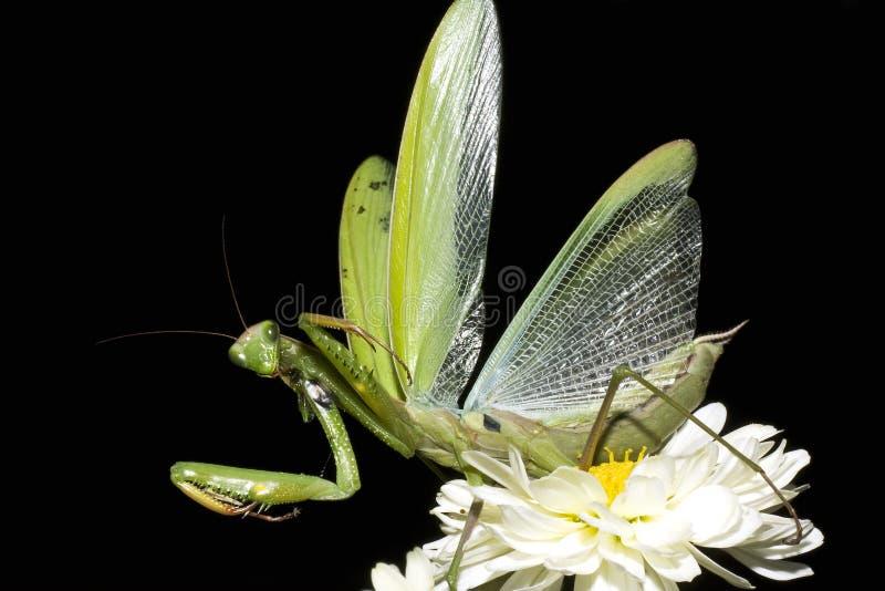 Betender Mantis/Mantis religiosa stockbild