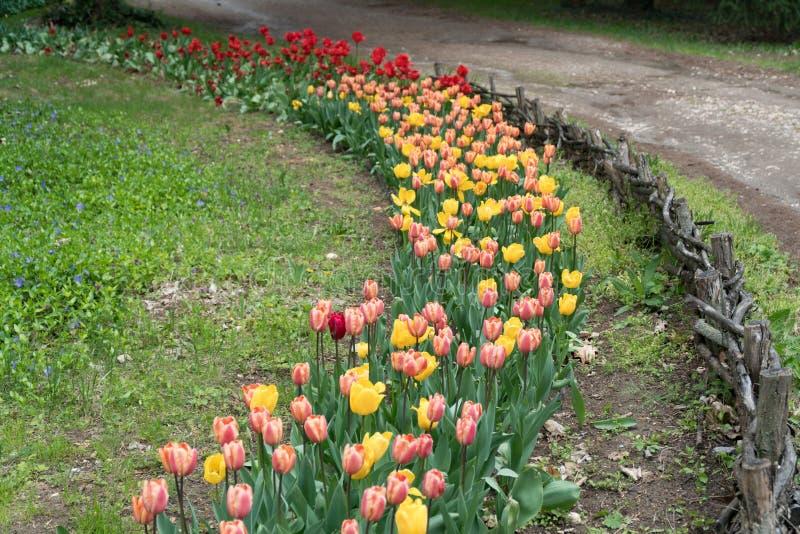 Betesmark med färgrika tulpan, botanisk trädgård, Varna royaltyfria bilder