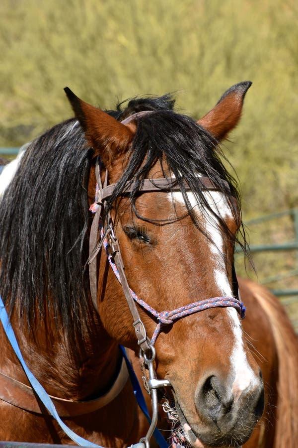 Beteugeld paard klaar voor het berijden stock fotografie