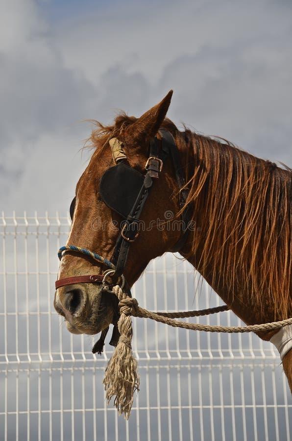 Beteugeld paard met zonneblinden stock afbeelding