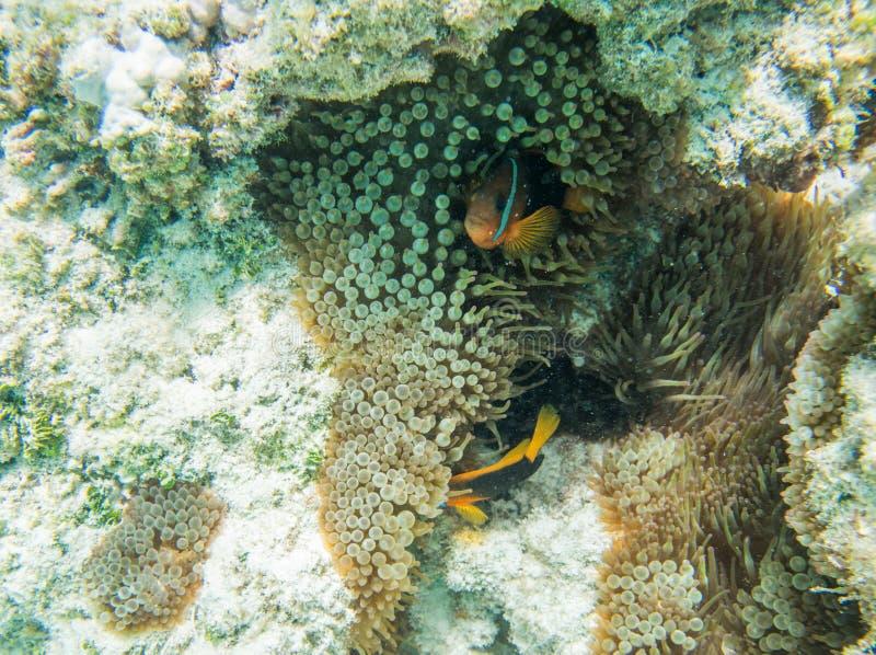 Beteugelde Clownfish in Nieuw-Caledonië Coral Reef royalty-vrije stock fotografie