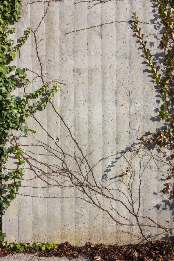 betongvägg med murgrönagräsplan på en solig december adventdag royaltyfri fotografi
