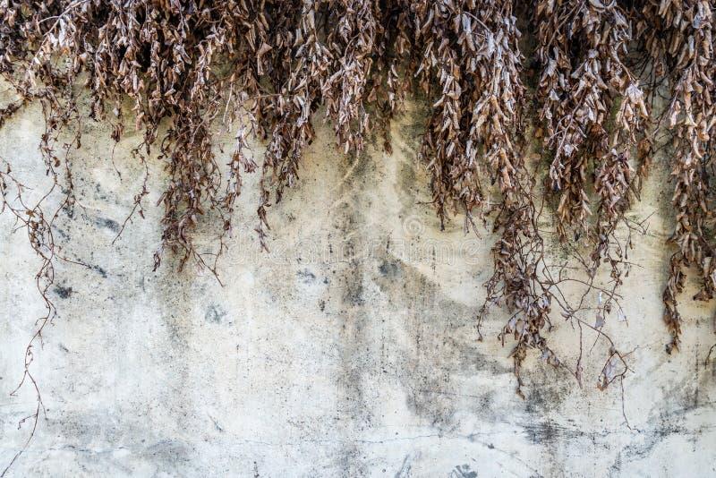 Betonowa ściana z suchą rośliną obrazy royalty free