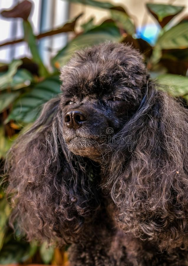 Betoverende hond, portret van weinig zwarte hond stock fotografie