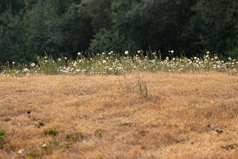 beträchtliches gelbes getrocknetes Feld mit kleiner Schicht grünem und weißem Löwenzahn stockfotografie