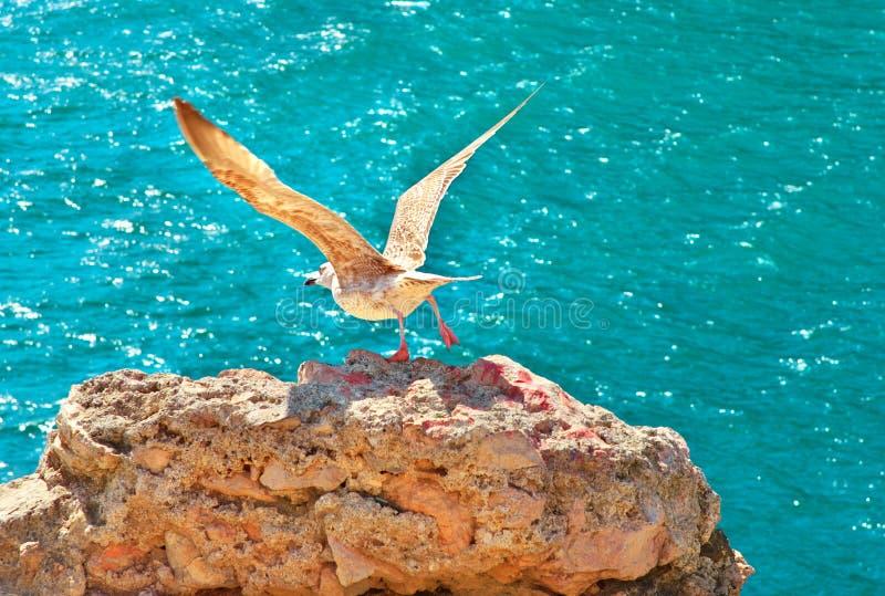 Betrügen Sie Vogelfliegen von der felsigen Klippe, die mit blauem Meer auf Hintergrund im Freien ist stockbild