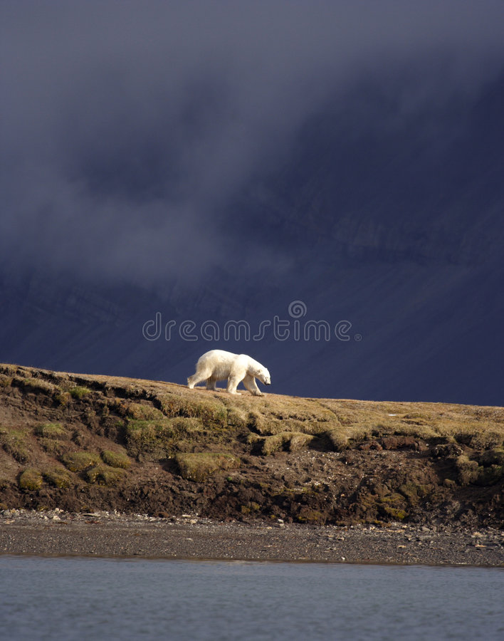 Betrachten eines Eisbären stockfoto