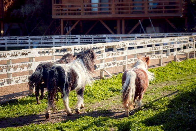 Betrieb mit drei Ponys stockfotografie