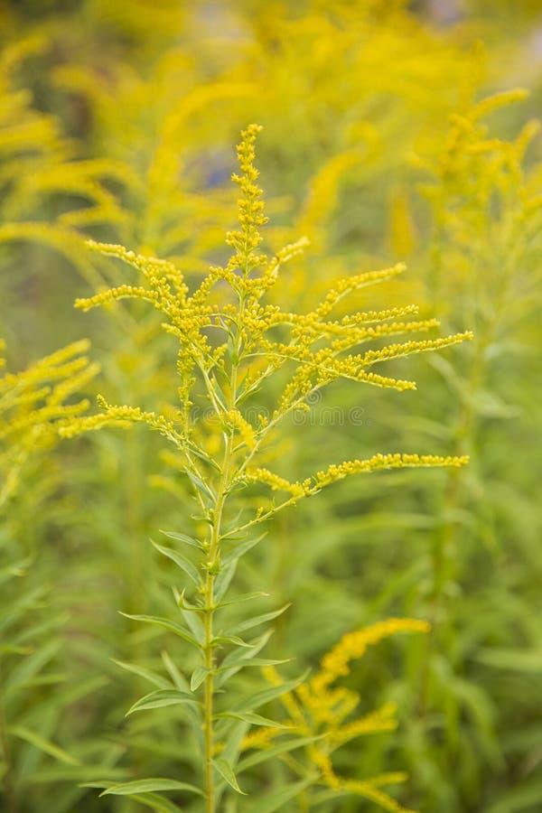 Betriebsbeschaffenheiten und -hintergründe Gelbe Gartenblumen Kanadisches Gold Rod stockfoto