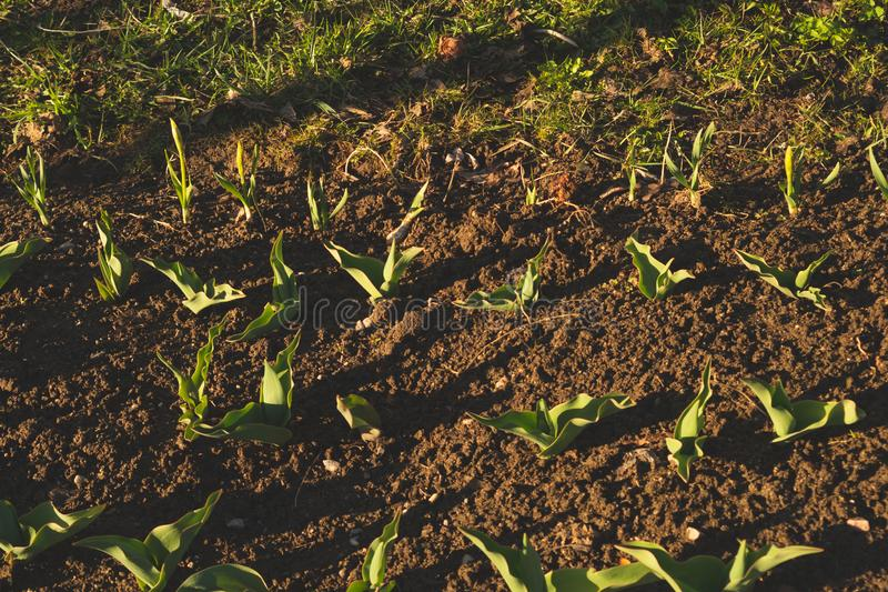 Betriebssprössling im Boden wachsen Landwirtschaftsanlage, die in der Bettreihe wächst Getreideanbau grüne Naturkosternten stockfotos